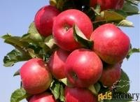 Саженцы яблони оптом и в розницу