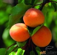 Саженцы абрикоса из Подмосковного питомника