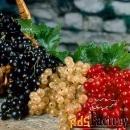 Саженцы смородины недорого от произодителя