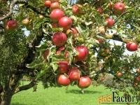 Крупномеры яблони оптом и в розницу