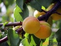 Крупномеры абрикоса от производителя
