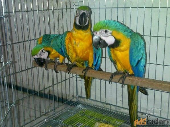 ара сине-желтый