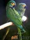 краснобрюхий ара (ara manilata)