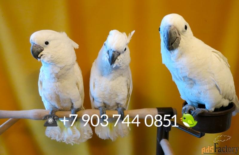 белохохлый какаду птенцы - выкормыши из питомнков