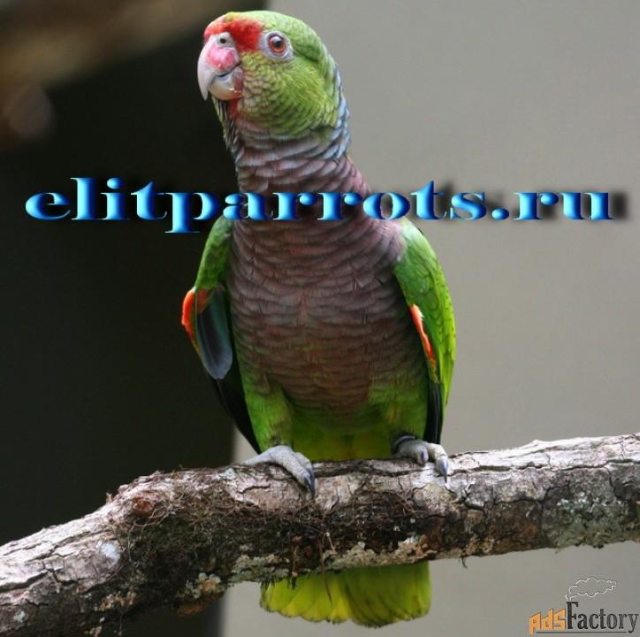 винногрудый амазон (amazona vinacea) ручные птенцы из питомника