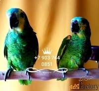 амазоны - ручные птенцы из питомников