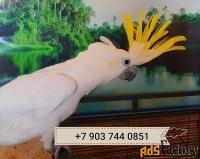 желтохохлый какаду  ручные птенцы