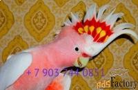 какаду инка - ручные птенцы из питомников