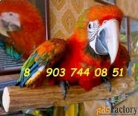 гибриды попугаев ара - ручные птенцы из питомников