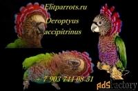птенцы веерного попугая (deroptyus accipitrinus) из питомников европы