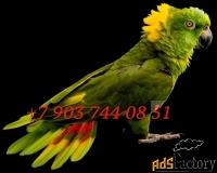 желтошейный амазон (amazona auropalliata) ручные птенцы из питомников