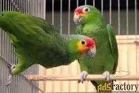 краснолобый амазон (amazona autumnalis) птенцы выкормыши из питомников