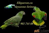 амазон мюллера (amazona farinosa) птенцы  из питомников европы