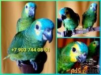 синелобый амазон (amazona aestiva) ручные  птенцы из питомника