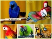 Попугаи ара - птенцы выкормыши 4 мес. из питомника
