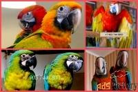 Гибриды попугаев ара - птенцы выкормыши 4 мес из питомника