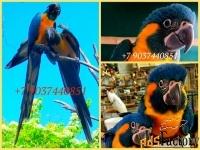 Синегорлый ара (Ara glaucogularis) - ручные птенцы из питомника