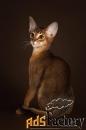 абиссинский котенок.