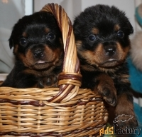 Ротвейлера щенки продаются