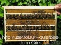 продаю пчелиных маток серой горной кавказской породы