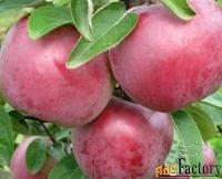 саженцы яблони оптом от производителя рб.