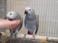 купите птенца попугая жако