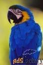 купите попугая синежелтый ара