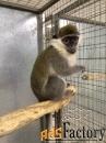 купите обезьянку зеленую мартышку