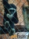 купите обезьянку  гиббон