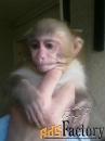 купите обезьяну макака-резус