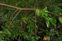 короссоль (corossol). природное исцеление
