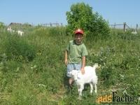 козы,козлята,козлы-производители