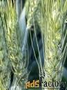 Семена пшеницы озимой  Аксинья,  Аскет,  Вольница,  Вольный Дон