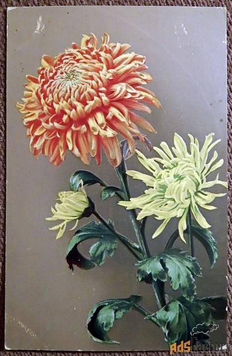 Антикварная открытка Хризантема