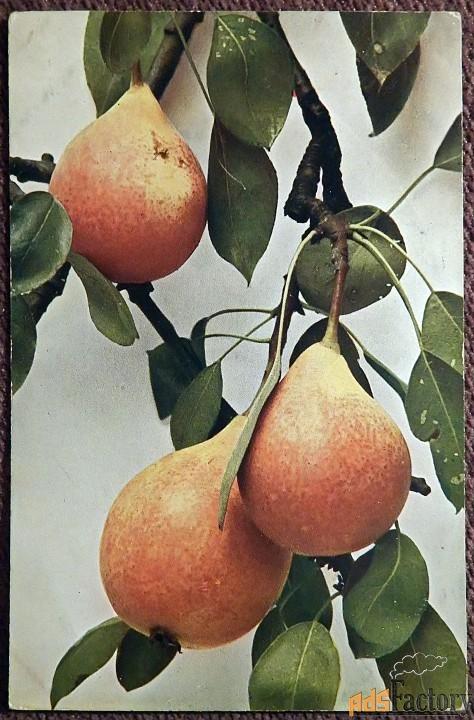 Антикварная открытка Груши