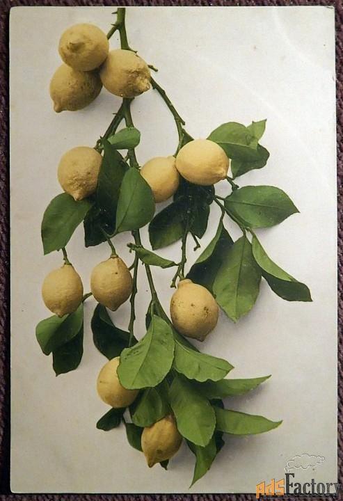 Антикварная открытка Лимоны
