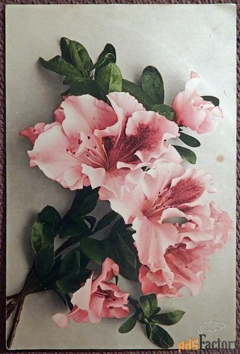 Антикварная открытка Азалия