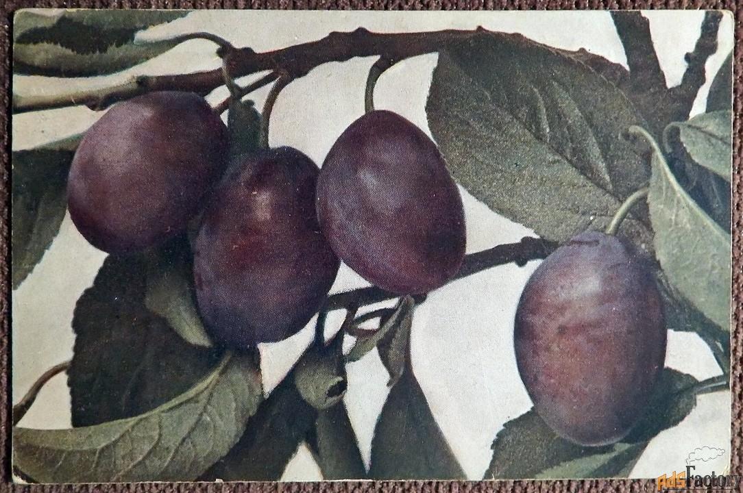 Антикварная открытка Сливы на ветке
