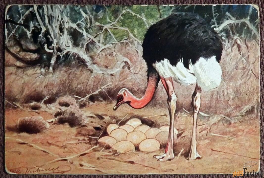 Антикварная открытка Страус. Ответственный отец