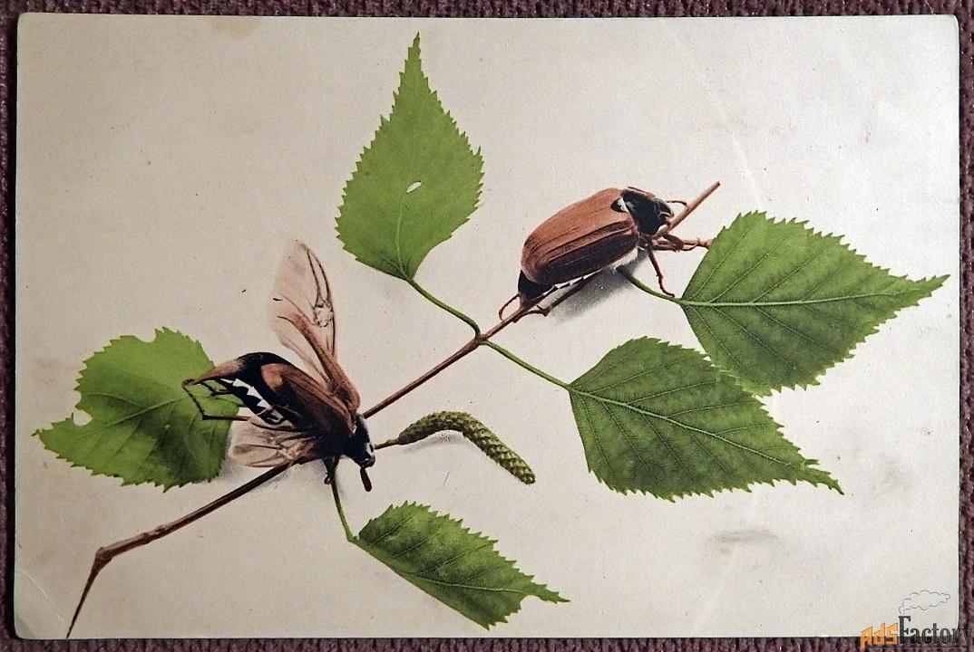 Антикварная открытка Жуки на березе