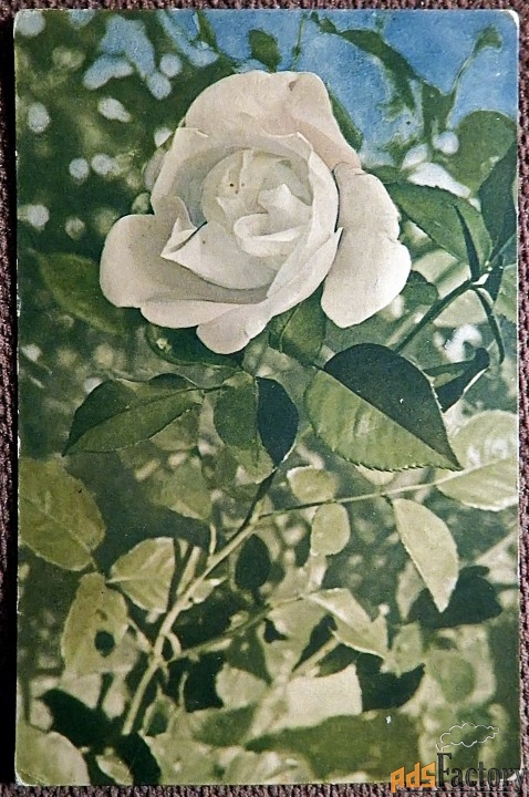 Антикварная открытка Белая роза