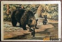 Открытка. Худ. Трофимов Медведица с медвежатами. 1954 год