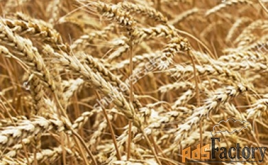 семена озимой пшеницы эс/рс1/рс2