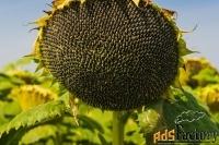 семена подсолнечника сорта и гибриды