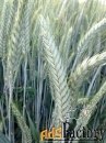 семена тритикале хлебороб, тихон эс