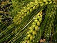 семена ячменя эс/рс1