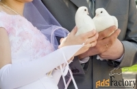 голуби для свадьбы и других торжеств.
