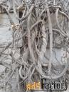 семена глицинии китайской